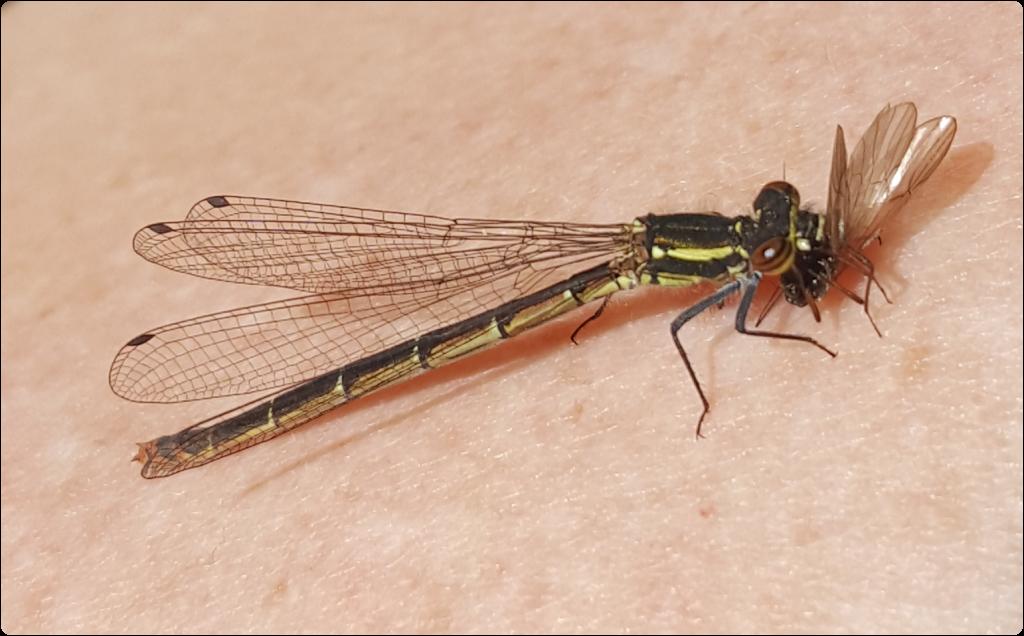 Female Red Eyed damsel fly